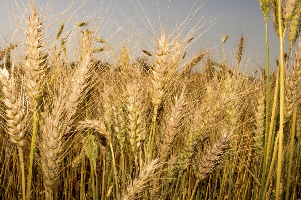 https://pixabay.com/photos/wheat-grain-crop-cer%C2%ADeal-barley-5011249/